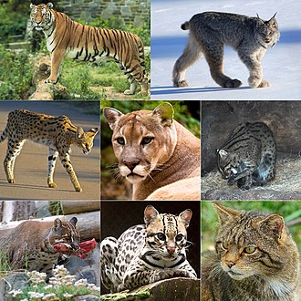 Felidae - Clockwise from top left: tiger (Panthera tigris), Canadian lynx (Lynx canadensis), fishing cat (Prionailurus viverrinus), wildcat (Felis silvestris), ocelot (Leopardus pardalis), Asian golden cat (Catopuma temminckii),  serval (Leptailurus serval) and cougar (Puma concolor).