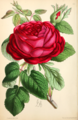 The Floral magazine- comprising figures and descriptions of popular garden flowers. Lord Napier Hybrid Perpetual Rose.png