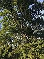 The Oak in Tsaritsyno.jpg