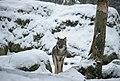 The alone Wolf.jpg