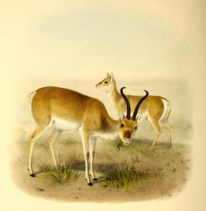 Description de l'image The book of antelopes (1894) Gazella przewalskii.png.