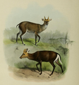 The deer of all lands (1898) Tenasserim & hairy fronted muntjacs.png