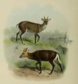 The deer of all lands (1898) Tenasserim & hairy fronted muntjacs.png