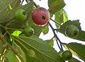 The fruit of muntingia calabura tree.JPG