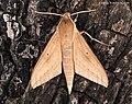 Theretra lateillii (MacLeay, 1826) Sphingidae (15623405583).jpg
