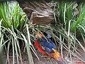 Thermas dos Laranjais, Olímpia. Faisão Dourado (Chrysolophus pictus). Ave nativa da China, vive nas montanhas e florestas de bambu chinesas - panoramio.jpg