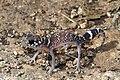 Thick-tailed Gecko (Underwoodisaurus milii) (8636508647).jpg