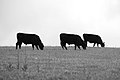 Three Cows (16307365144).jpg