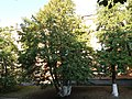 Thuja occidentalis, Shevchenka 33, Kamianets-Podilskyi (13.08.17).jpg