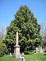 Thuja plicata, Mount Auburn Cemetery.JPG