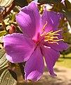 Tibouchina lepidota (4).jpg