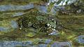 Tiburon Stream Frog.jpg