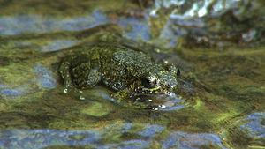 Haiti National Trust - Tiburon Stream Frog (Eleutherodactylus semipalmatus)