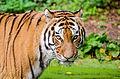 Tiger (15694751682).jpg