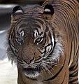 Tiger 1 (4872720526).jpg
