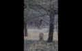 Tiger in Ranthambore 27.png