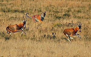 English: A South China Tiger chasing a herd of...