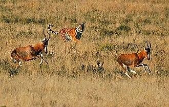 Laohu Valley Reserve - Image: Tigerwoods chasing blesbucks