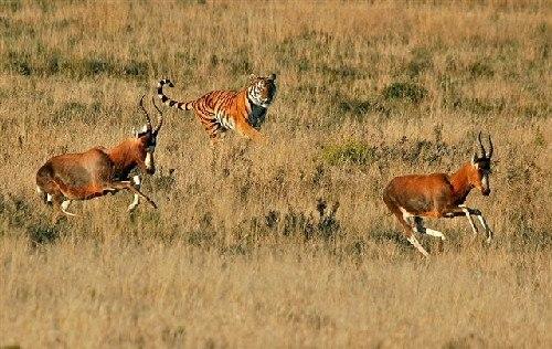 Tigerwoods chasing blesbucks