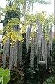 Tillandsia usneoides of Jodenbaard.jpg