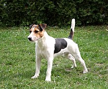 Fox Terriers Best Dog