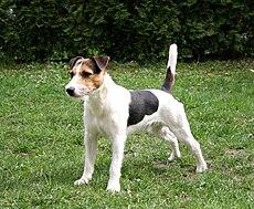Whippet Rescue Dogs Australia