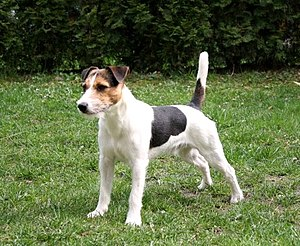 Parson Russell Terrier - A broken coated Parson Russell Terrier
