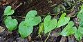 Tinospora cordifolia leaves.jpg