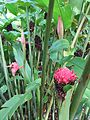 Torch ginger (7189118127).jpg