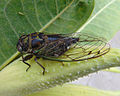Toronto cicada.jpg