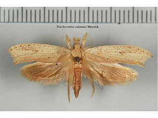 <i>Trachycentra calamias</i> Species of moth