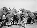 Trainer Walter McClain and his elephants at the Ringling Circus- Sarasota, Florida (8428881145).jpg