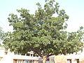 Tree at kundalpur.JPG