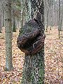 Tree cancer betula verrucosa beentree.jpg