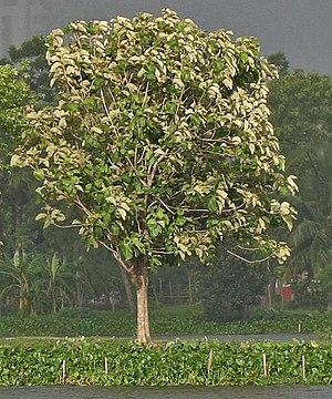 Teak or Sagwan Tectona grandis in Kolkata, Wes...