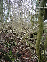 Treelets on fallen Ash tree.JPG