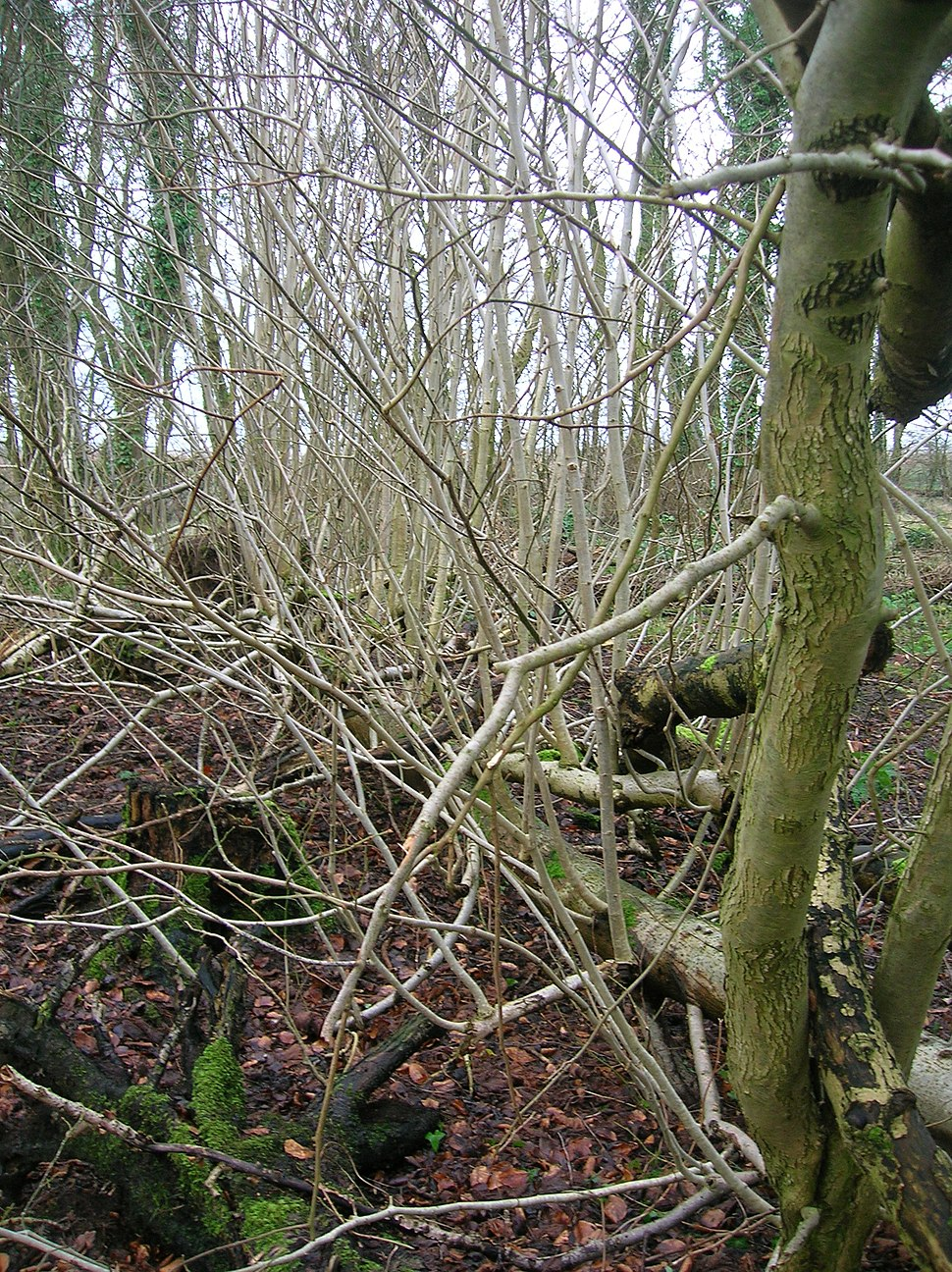 Treelets on fallen Ash tree