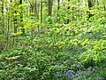 Trees, saplings and bluebells, West Woods, near Marlborough - geograph.org.uk - 789248.jpg