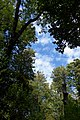 Trees and Sky at Scadbury Park.jpg