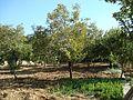 Trees in my garden in Jbaa - panoramio.jpg