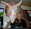 Triceratops at the Smithsonian.