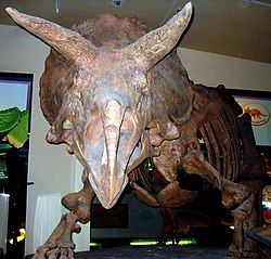 Triceratops front view.jpg
