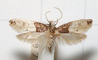 <i>Trichophaga</i> genus of insects
