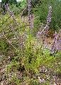 Trichostema lanatum 1.jpg