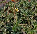 Tridax procumbens (Coat buttons) in AP W IMG 8091.jpg