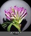 Trifolium medium subsp. medium sl10.jpg