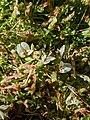 Trifolium monanthum 81735714.jpg