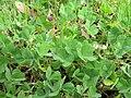 Trifolium subterraneum habit5 SWS (15058919913).jpg