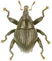 Trigonopterus hitoloorum holotype - ZooKeys-280-001-g036.jpg