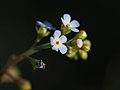Trigonotis Peduncularis Flowers Cucumber Herb キュウリグサ (254309145).jpeg